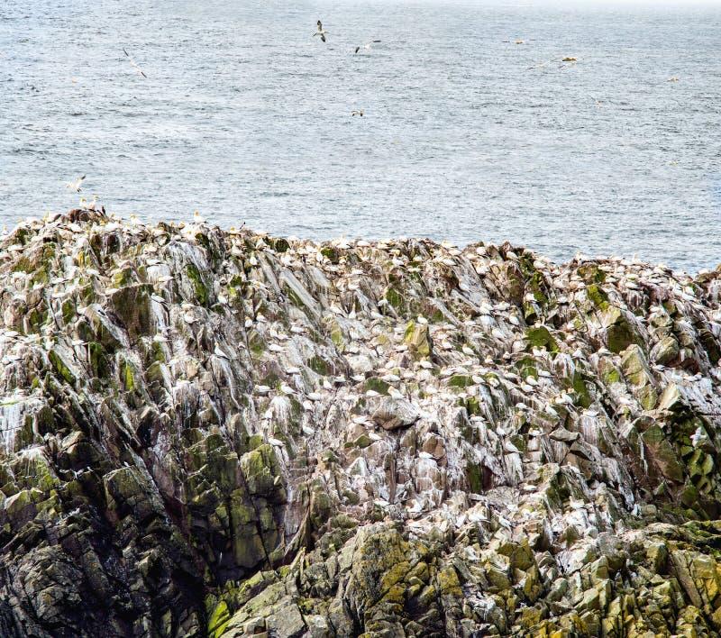 Gannets en roca en las islas de Saltee fotos de archivo libres de regalías