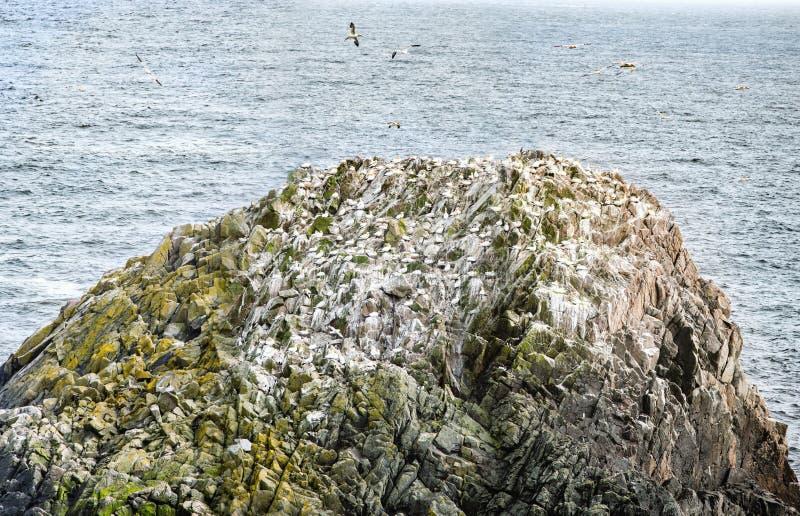 Gannets en roca en las islas de Saltee imágenes de archivo libres de regalías