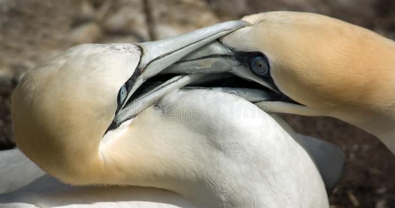 Gannets Fighting for Territory
