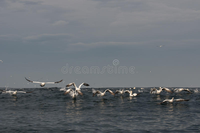 Download Gannets Flying Over Ocean Surface Stock Photo - Image: 26145934