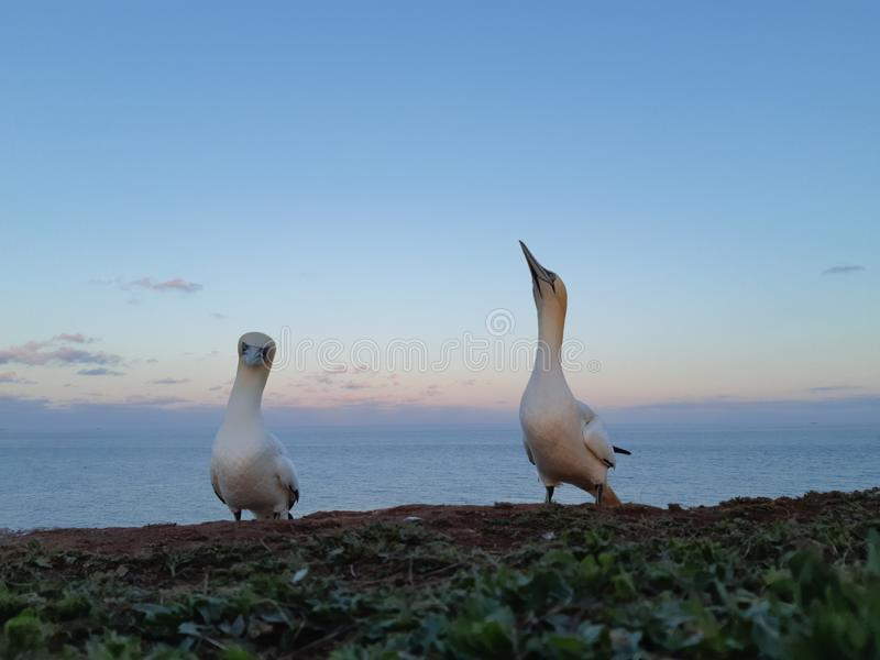 gannets 免版税库存照片