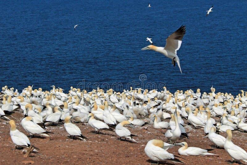 Gannets kolonia obraz stock