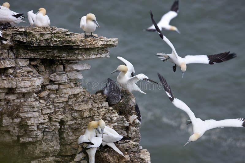 Gannets - (Morus bassanns) stockbild