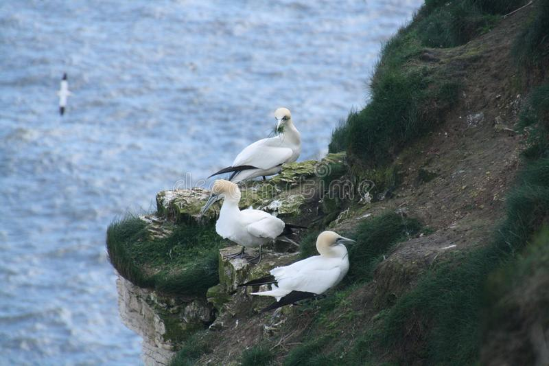 Gannets nesting on a cliff royalty free stock photos