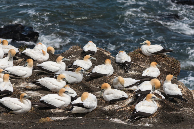 Gannets nesting on cliffs stock photos