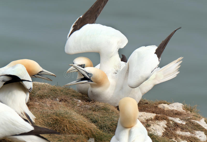 Gannets at nesting site on chalk cliffs. royalty free stock photography