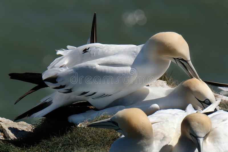 Gannets at nesting site on chalk cliffs. stock photo