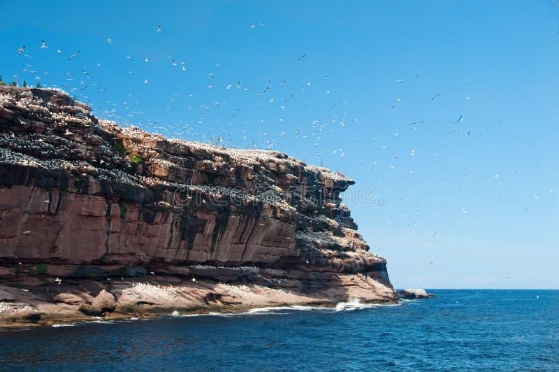 Gannets nordiques sur l'île de Bonaventure, gaspesie photographie stock