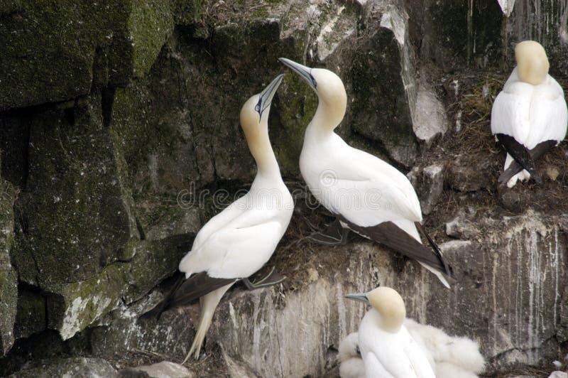 gannets północnej wiciem gniazda zdjęcie royalty free
