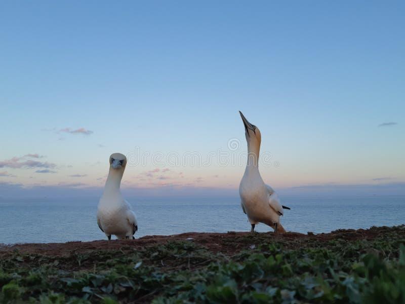 gannets zdjęcie royalty free