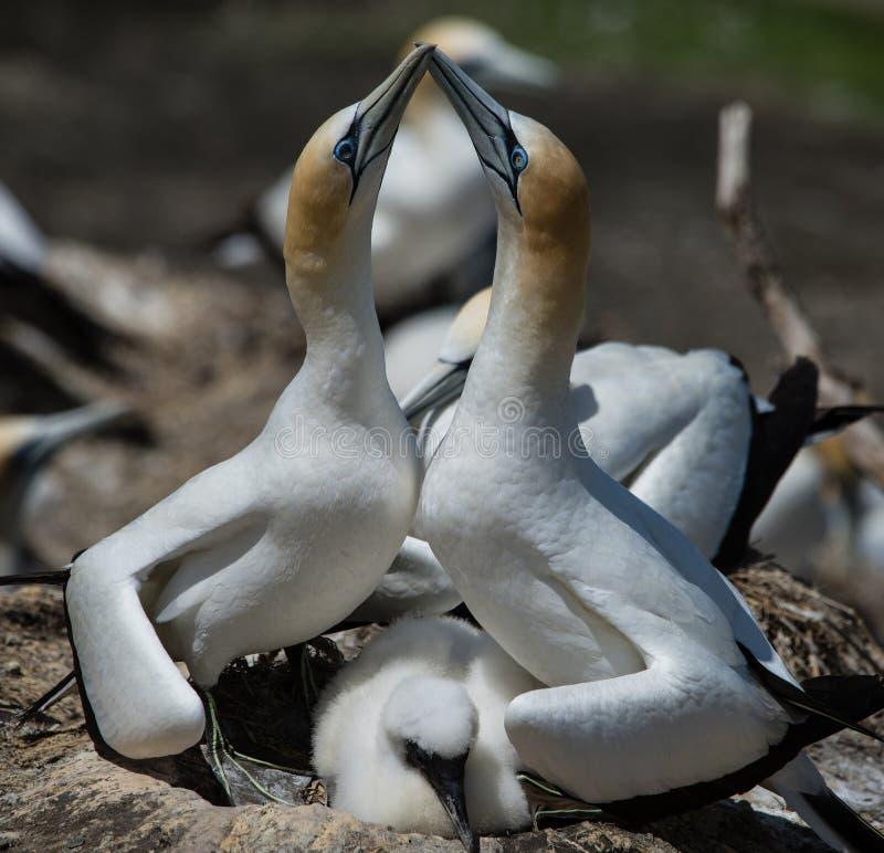 Gannets que corteja con el polluelo, Muriwai, Nueva Zelanda -4 foto de archivo libre de regalías