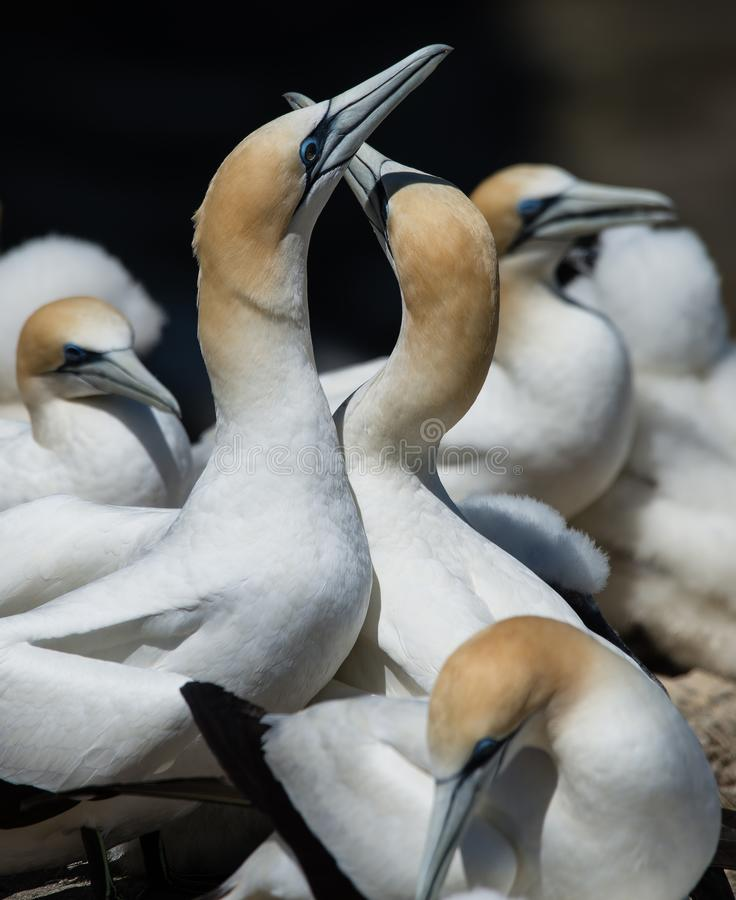 Gannets que corteja, Muriwai, Nueva Zelanda -2 fotografía de archivo libre de regalías