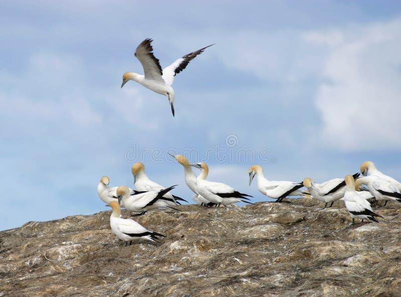 Gannets Verschachtelung Lizenzfreies Stockbild