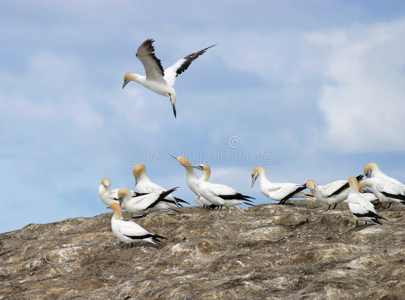 Gannets Wiciem Gniazda Obraz Royalty Free
