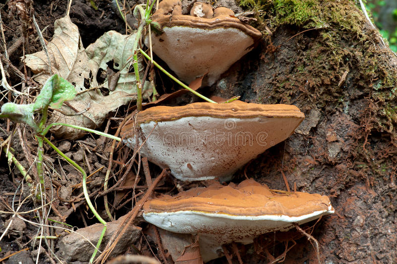 Download Ganoderma Applanatum fungi stock image. Image of forest - 33628581
