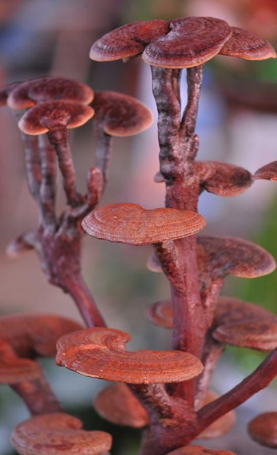 ganoderma glansowany zdjęcia royalty free
