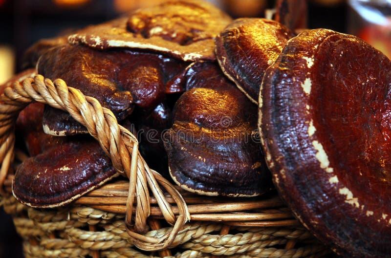 ganoderma glansowany zdjęcie royalty free