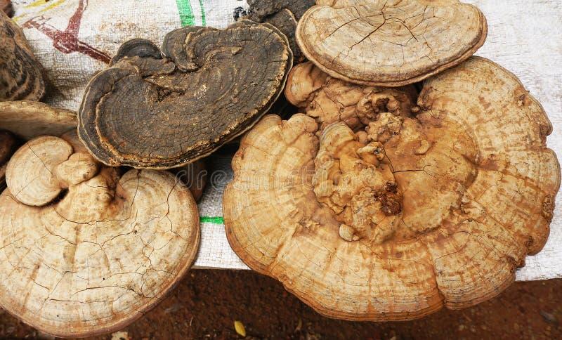 Ganoderma Lucidum royalty-vrije stock foto