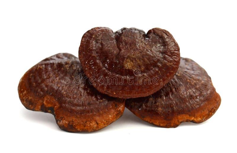Ganoderma lucidum zdjęcia stock