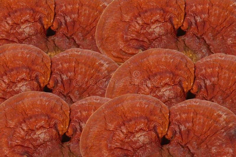 Ganoderma lucidum del fungo di Lingzhi fotografie stock