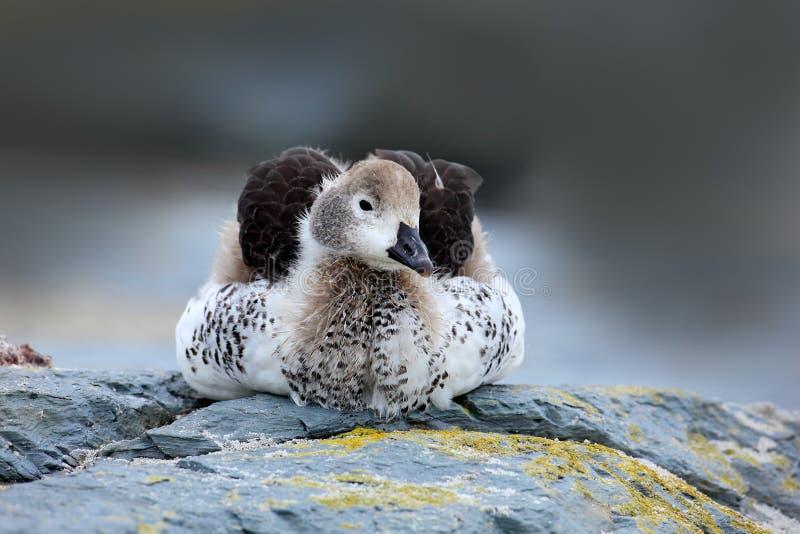 Gans auf dem grauen Felsen Kelpgans, Chloephaga-hybrida, ist ein Mitglied der Ente, Gans Es kann im südlichen Teil von so gefunde stockbilder