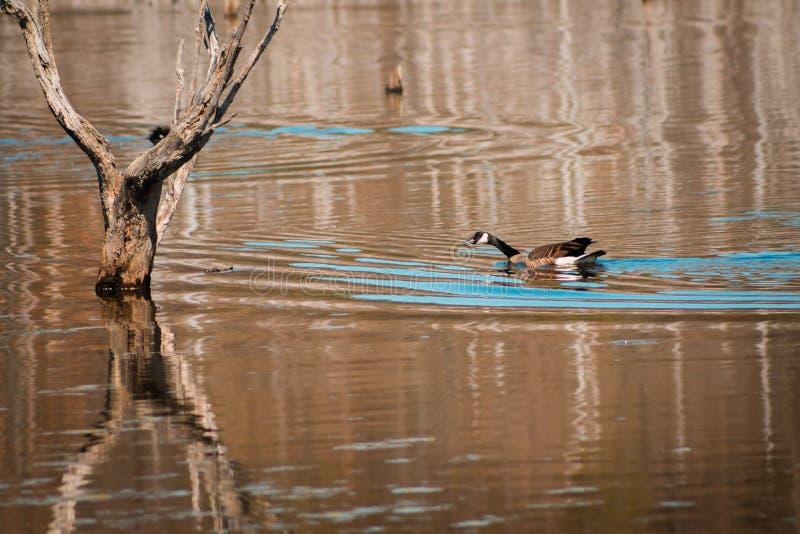 Gans die in het moerasland in Frederik Meijer Gardens in Grand Rapids Michigan zwemmen stock foto's