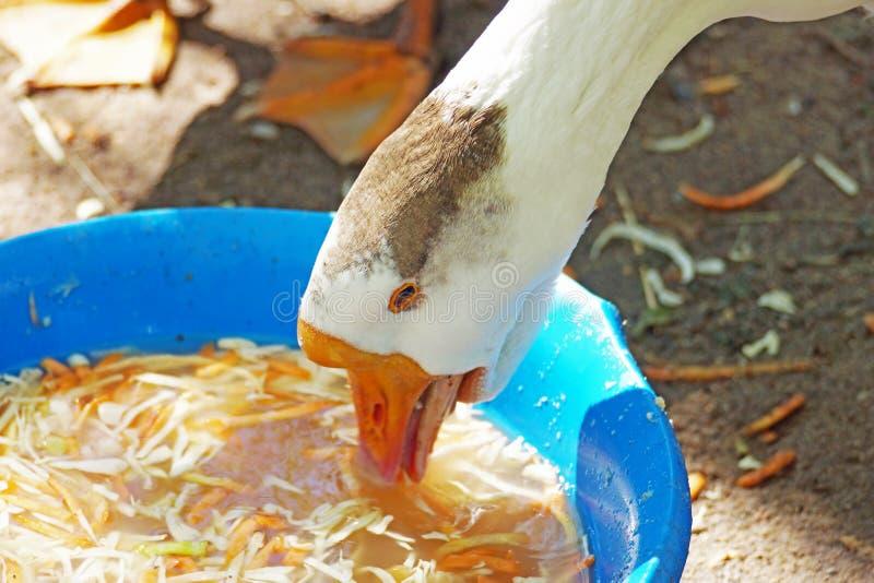 Gans, die Kohl von einer Pelvis am Geflügelhof isst stockbild