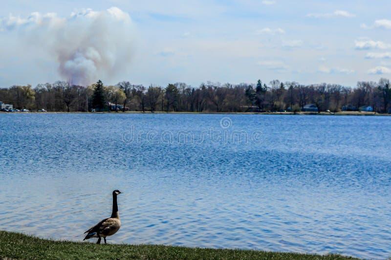 Gans die over Pell Lake, Wisconsin met Rookwolk kijken stock foto