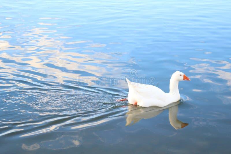 Gans het zwemmen royalty-vrije stock fotografie
