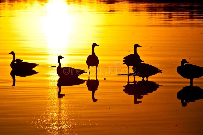 Gans-Sonnenuntergang stockfotos