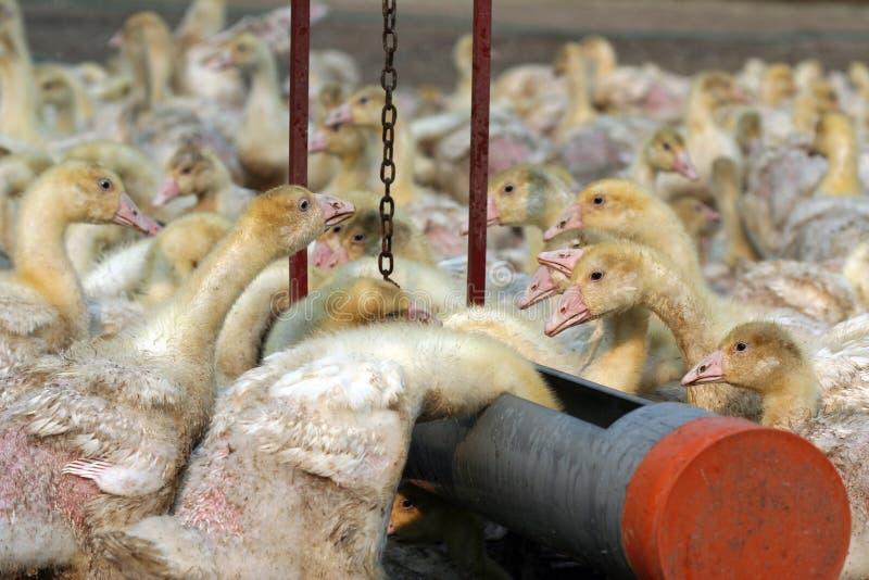 Download Gansbauernhof stockfoto. Bild von tiere, veränderung, kraft - 851174