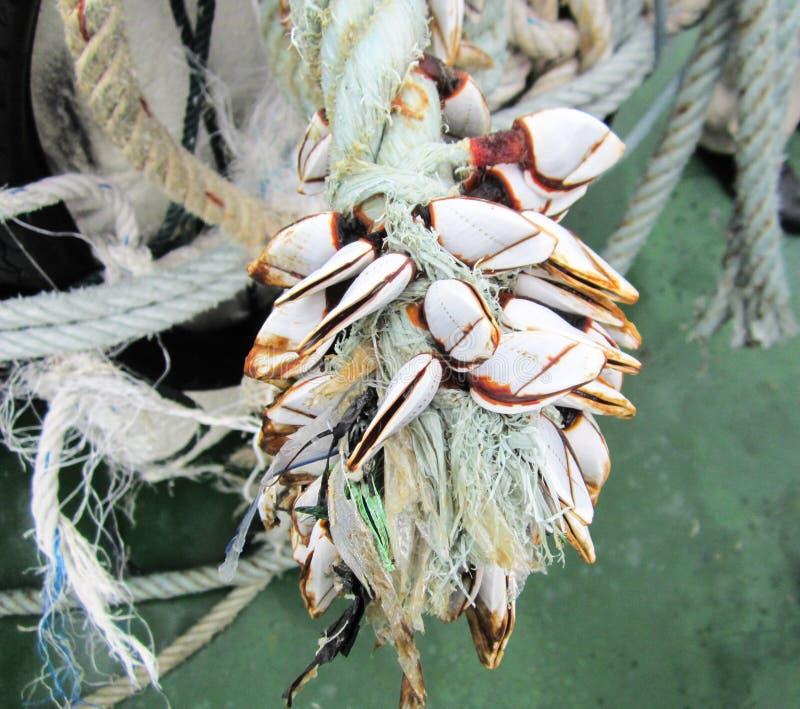 Ganseendenmossel in bijlage op kabel in schip stock afbeelding