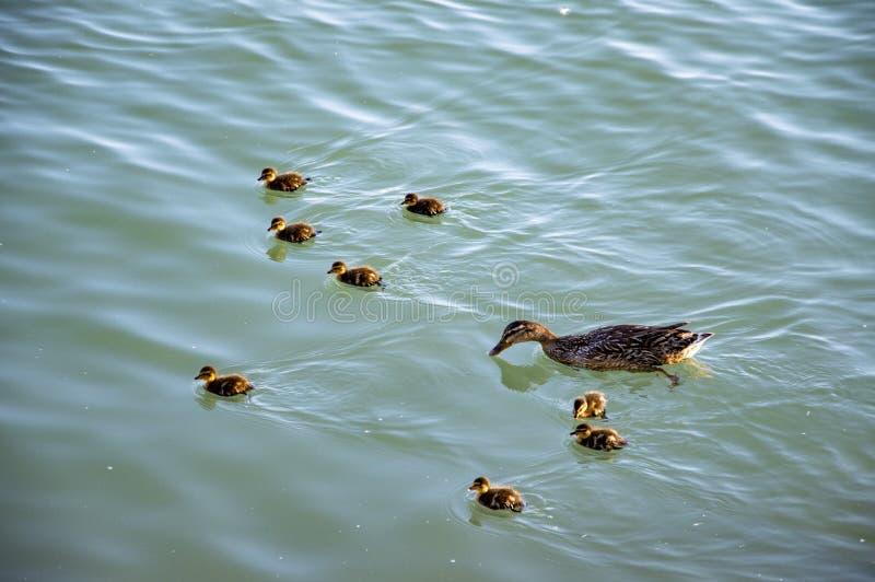 Gansfamilie in water stock afbeelding