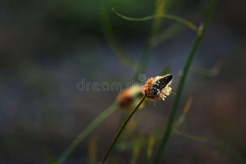 Gansgras of weegbree hoofdbloem stock fotografie