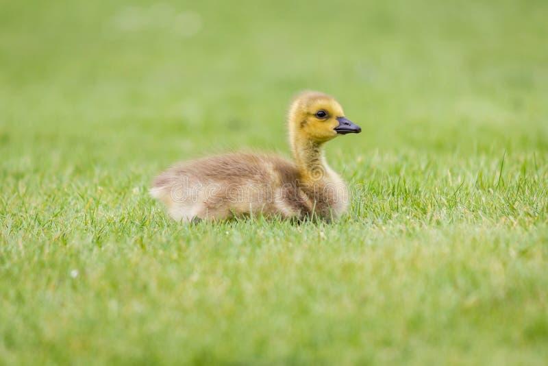 Gansje in het Gras - een pasgeboren Gans van Canada royalty-vrije stock afbeeldingen