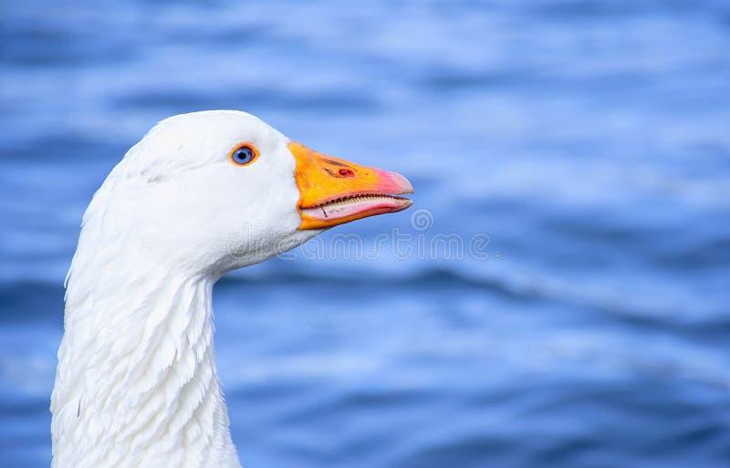 Ganso branco bonito com olhos azuis profundos naturais fotos de stock royalty free