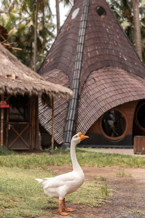 Ganso branco real no ar livre da grama Console de Bali, Indonésia imagens de stock