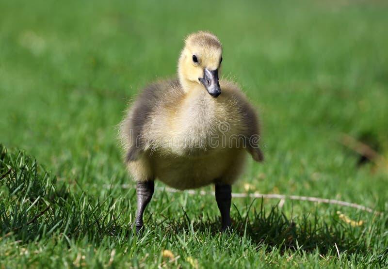 Ganso canadense com pintainhos, gansos com ganso que andam na grama verde em Michigan durante a mola
