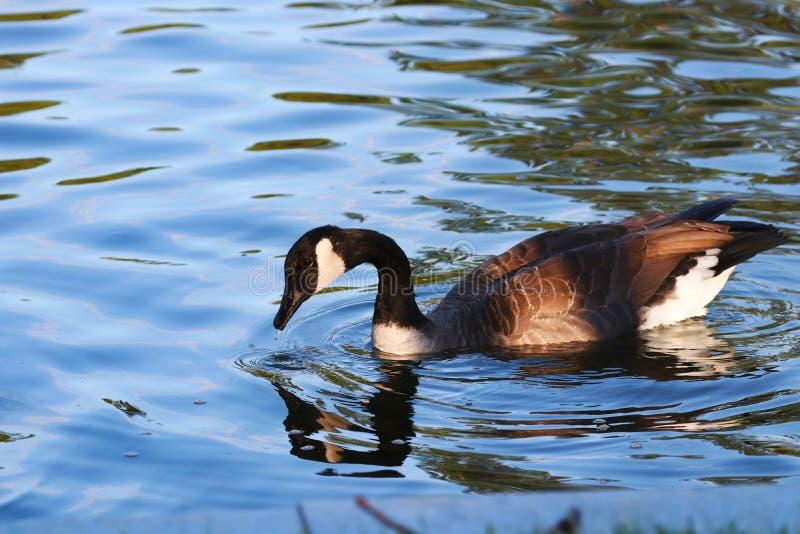 Ganso canadense em uma lagoa imagem de stock royalty free