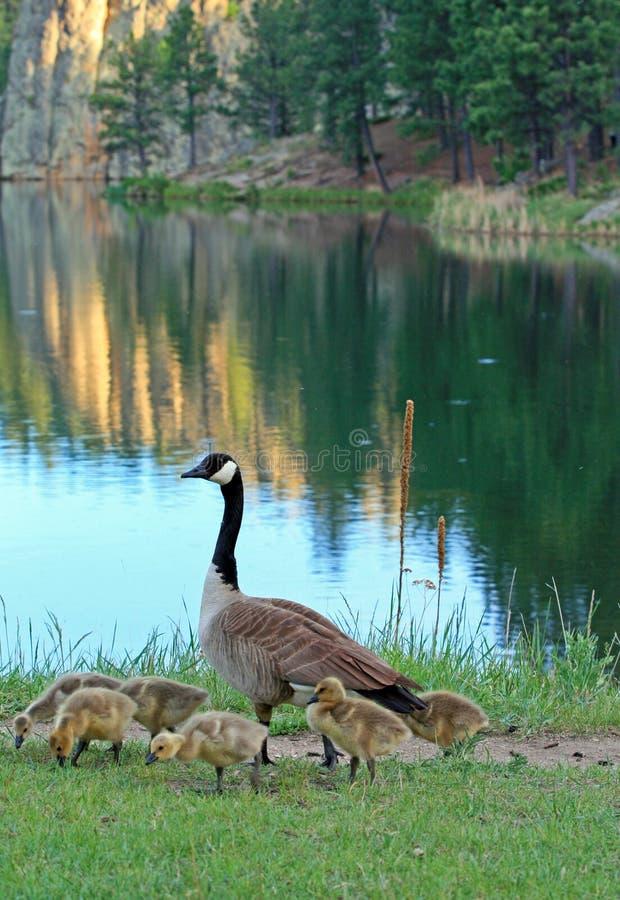 Ganso canadiense con los ansarones del bebé al lado de Sylvan Lake en Custer State Park en el Black Hills de Dakota del Sur fotos de archivo libres de regalías
