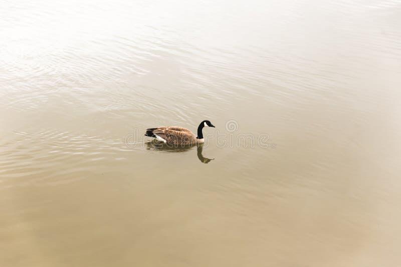 Ganso canadiense en el agua verde imagen de archivo