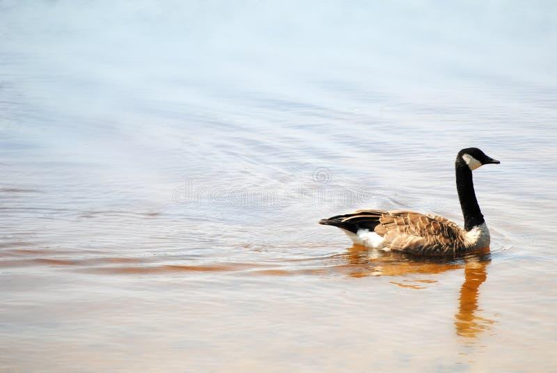 Ganso canadiense en el lago malaga, New Jersey fotografía de archivo libre de regalías