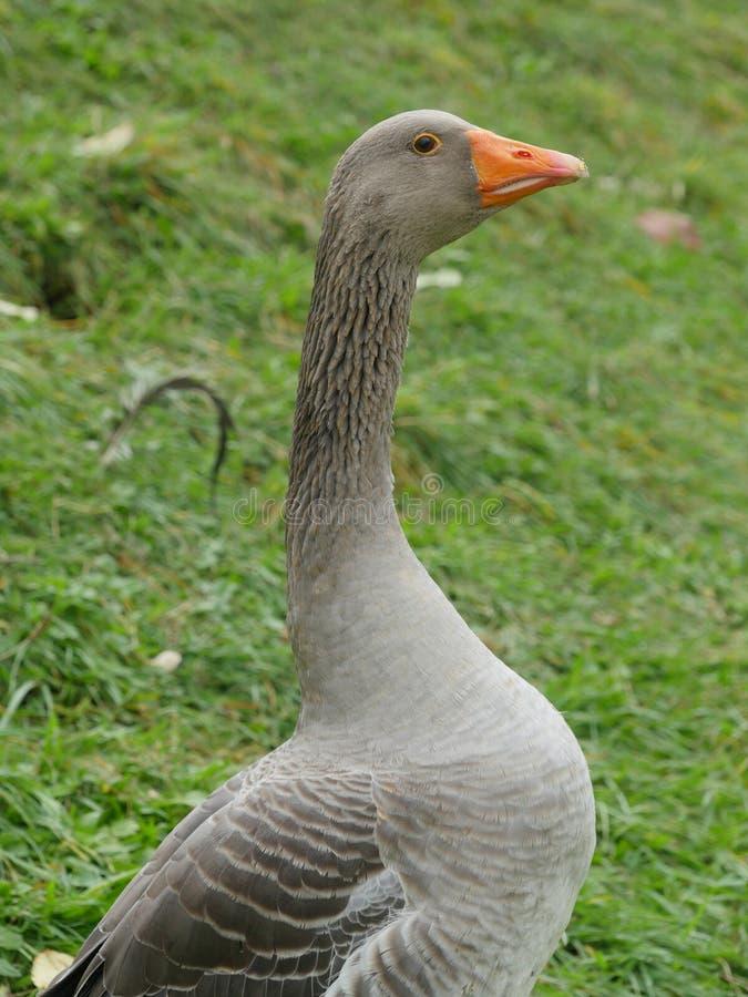 Ganso cinzento no prado verde fotografia de stock royalty free