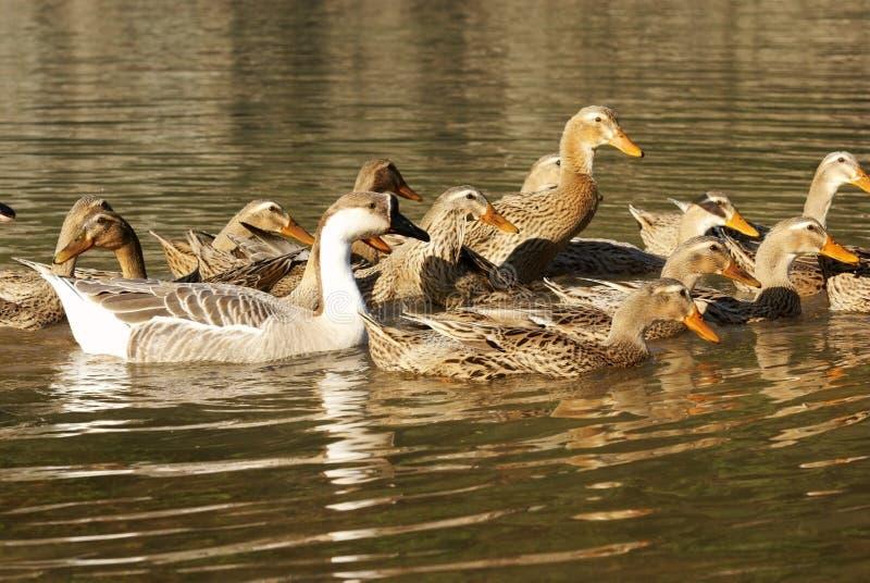 Ganso con el pato en el río imágenes de archivo libres de regalías