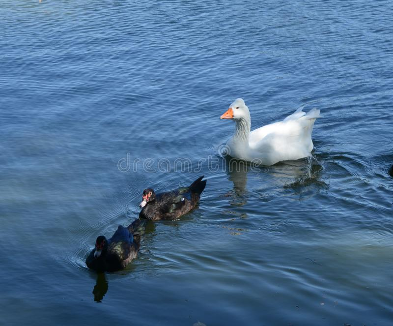 Ganso con los patos blancos imagen de archivo libre de regalías