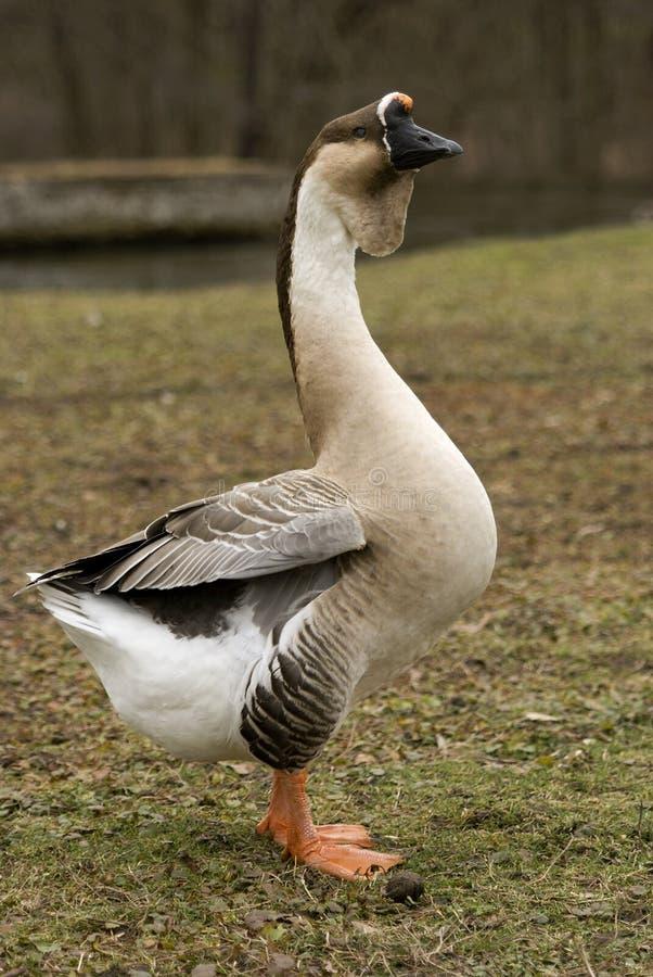 Ganso da cisne que está alto foto de stock