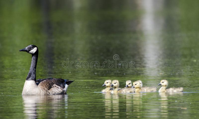 Ganso da mãe e do bebê do ganso de Canadá, Walton County, GA fotografia de stock royalty free