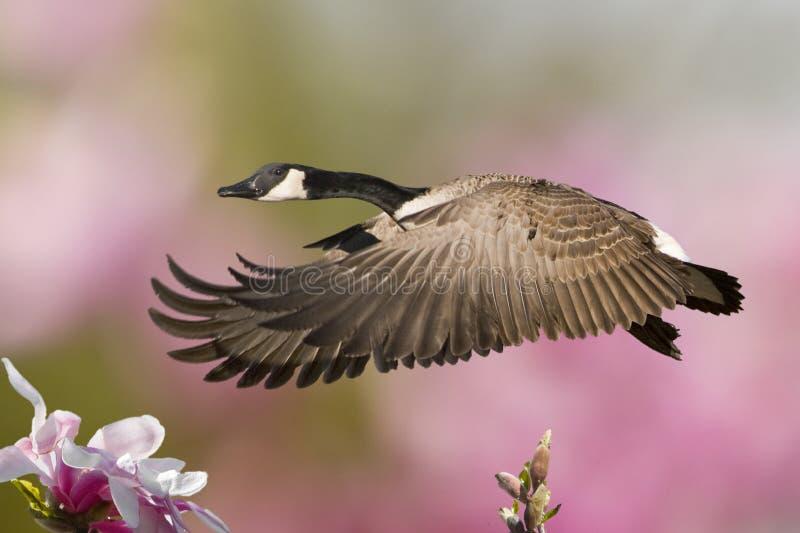 Ganso da mola no vôo com Magnolias fotografia de stock royalty free