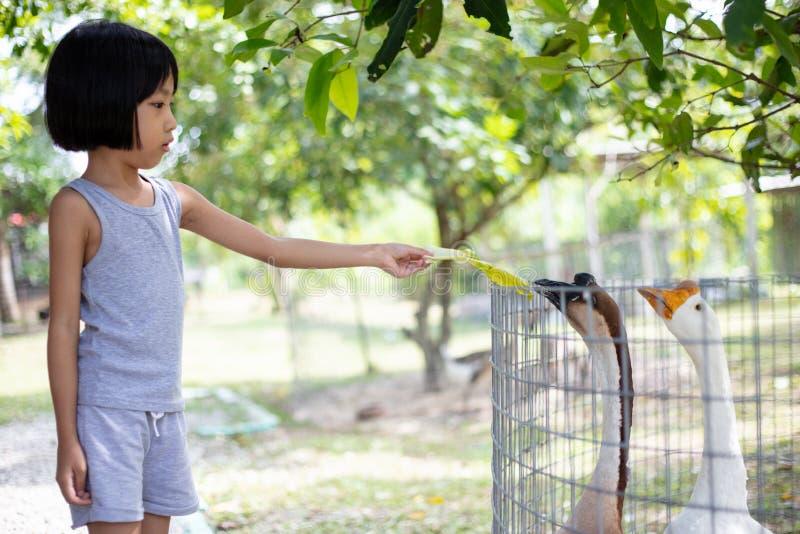 Ganso de alimentación de la pequeña muchacha china asiática imagen de archivo libre de regalías
