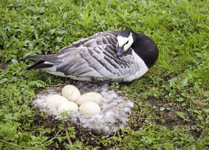Ganso de Barnacle com os ovos no ninho foto de stock